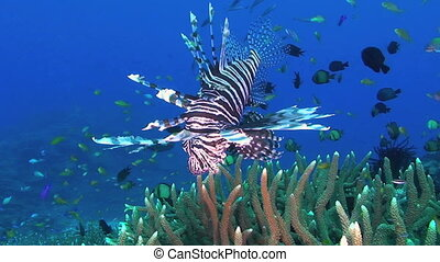 Lionfish aka Turkeyfish, Pterois miles, Papua New Guinea,...
