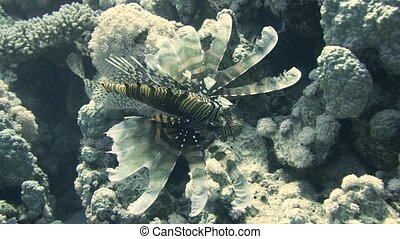 Lionfish among colorful small fishes in the coral reef underwater