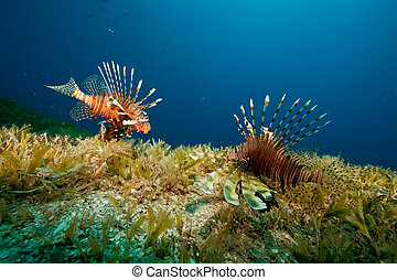 lionfish and seagrass - lionfish (pterois miles)