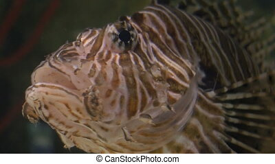 Close up shot of head of an exotic lionfish breathing by gills, on shallow waters.