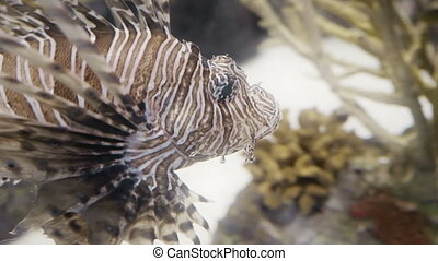 Lionfish closeup in 4K UHD. - Incredible closeup shot of a...