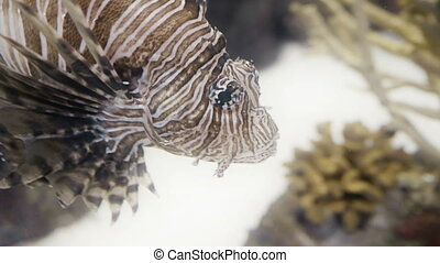 Lionfish closeup in 4K UHD. - Incredible closeup shot of a...