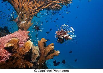 lionfish, coral, pepino, mar, debajo