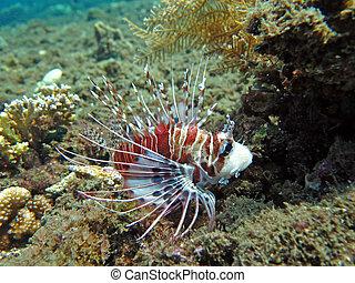 lionfish, coral, (pterois), bali., arrecife