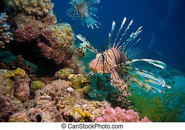 lionfish, en, el, barrera coralina, submarino