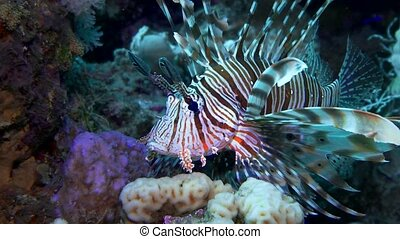Lionfish hovering over a coral reef. Diving in the Red sea. Egypt.