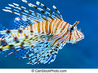 Lionfish in blue water - Closeup view of lionfish in blue...