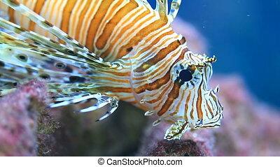 lionfish, in, de, zee