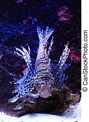 lionfish in the sea water