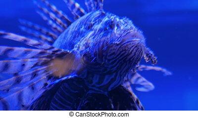 lionfish, lumière, venimeux, laid, spines., bleu, rayé