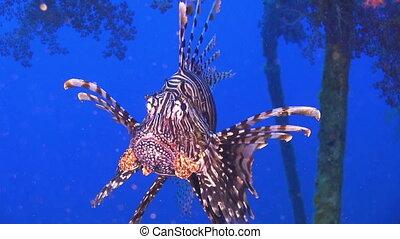 lionfish, naufrage, africaine