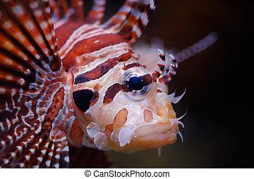 Lionfish portrait