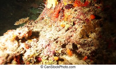 Lionfish (Pterois miles) Swimming near Bottom, Maldives...