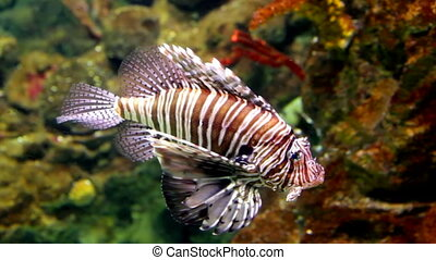 Lionfish (Pterois mombasae) in a Barcelona aquarium