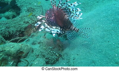 Lionfish pterois on coral reef Bali