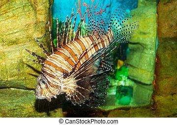 Lionfish (Pterois volitans) in the aquarium on a decorative ...