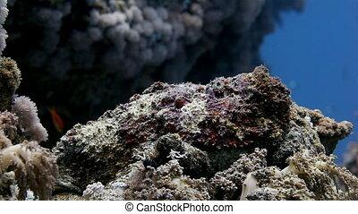 Lionfish scorpion fish on clean underwater. - Lionfish...