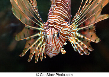 marine fish called lionfish displaying colorful fins with strips of red and white