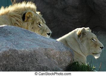 lionne, lion