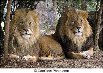 2 lions resting