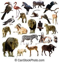 lions and other African animals  over white