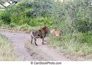 Lions By The Road