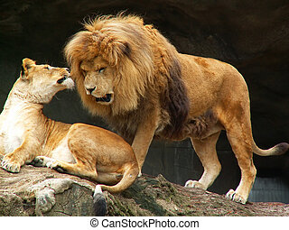 lions couple - female lion and angry male lion