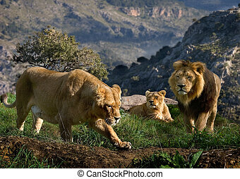 A family of Lions look for prey on the hills high above the valley.