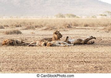 Lions family resting in Serengeti National Park