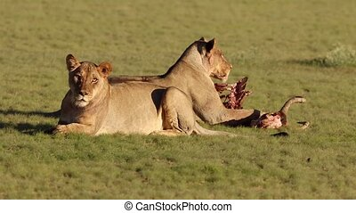 Lions guarding their prey - African lions (Panthera leo)...