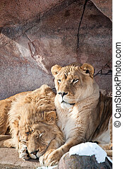 Lions in a Zoo
