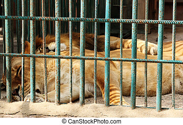 lions in captivity behind the bars
