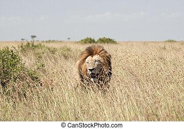 Lions in Masai Mara Savannah, Kenya - Mature dominant male...
