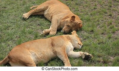 lions lying on the ground