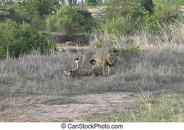 Lions mating in Mikumi Park Tanzania Africa