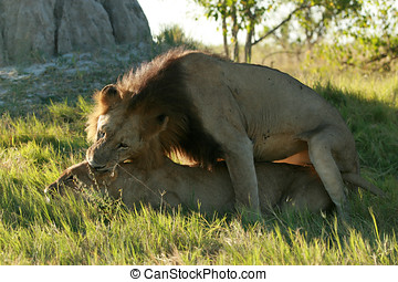 Lions mating in the wild.