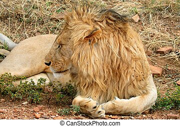 lions of Tanzania National park