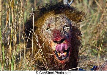lions of Tanzania National park - lion feeding on prey