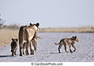 Lions on road