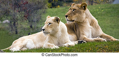 Lions - Picture of 2 lions on grass