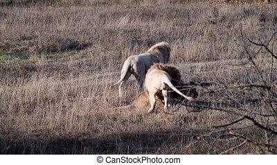 4k resolution video of Lions pride in African Savannah wildlife.