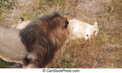 Lions pride in African savannah, male lion and his Lioness