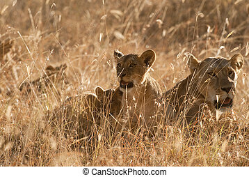 Lions pride in grass at sunset