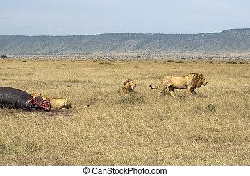 Lions pride sharing hippopotamus kill - Llioness (Pathera...