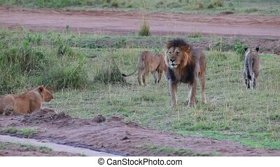Lions' Pride. - Leo and his pride. Lion examines the...