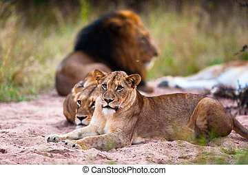 Lions resting - Lions (Leo panthera) resting, near Kruger ...