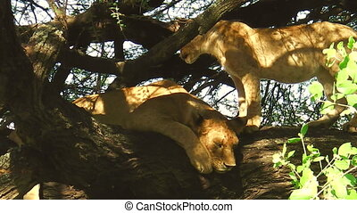 lions resting on the tree in the Lake Manyara National Park,...