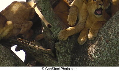 lions resting on the tree - lions resting with cubs on the...
