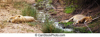 Lions Sleeping in South Africa - Lion and Lioness lying down...