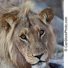 lions, tanzanie, parc, national